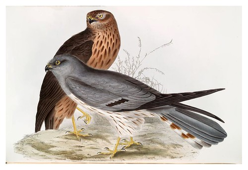 014-Aguilucho de color ceniza- The birds of Europe Tomo I-1837- John Gould