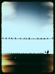 Chorus Line - *iPhone Capture (RiaPereira - here and there) Tags: birds miami thebirds dreamy blackbirds iphone birdsonwire inspiredbyhitchcock iphonephotography iphoneography riapereira offofbirdroad