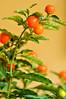 Cereja de Jerusalem / Jerusalem Cherry (Thais Marcon) Tags: plant dof nightshade poison mortal solanum laranjinha jerusalemcherry solanumpseudocapsicum poisonfruit madeirawintercherry cerejadejerusalem pimentalaranjinha