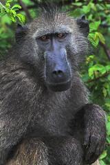 Africa Safari 017 (babasteve) Tags: africa rain southafrica wildlife safari baboon krugernationalpark babasteve kruger africasafari steveevans wetbaboon