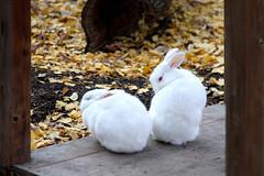 Rabbit - 04 (Kabacchi) Tags: rabbit animal mammalia 動物 ウサギ 上野動物園 うさぎ 兎 哺乳類 ~rabbit~