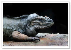 Rhinoceros Iguana-AZ2913 (Barbara J H) Tags: reptile australia iguana qld sunshinecoast australiazoo beerwah rhinocerosiguana endangeredanimal cycluracornuta captiveanimal specanimal barbarajh