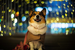 Tomorrow (moaan) Tags: leica dog digital hope 50mm corgi nightlights dof bokeh illuminations f10 lookingup utata noctilux wish welshcorgi starry starlet 2010 m9 pochiko lookingforwardtotomorrow leicanoctilux50mmf10 leicam9 goodbye2010 gettyimagesjapanq1 gettyimagesjapanq2