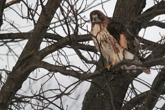 Rock Meadow redtail hawk in tree