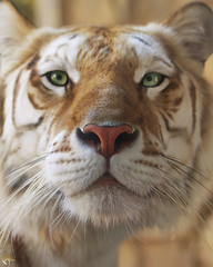 Fear Nothing (Savage Land Pictures) Tags: face tiger savagelandpictures jessejamesallen flickrbigcats