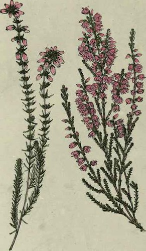 Fine-leaved-Heath-Heather-Ling