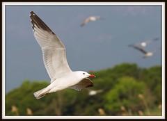 Gaviota de audouin en vuelo - Larus audouinii - Audouin's gull - Gavina corsa