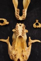 Bradypus, Bradypus! (Dallas Krentzel) Tags: costa tree college america tooth skeleton mammal skull three louisiana toes eagle jaw teeth cuba darwin rica sloth atlas bone biology armadillo department axis shreveport harpy vertebrae enamel centenarycollege mandible centenary molars pleistocene toed jugal darwinday groundsloth choloepus pilosa edentata variegatus zygomas cementum dentin bradypus xenarthra amniote centenarycollegeoflouisiana xenarthran taxonomy:binomial=bradypusvariegatus basicranium incisiform greatamericaninterchange