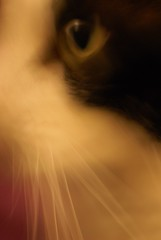 Face in a Face (Jamo Spingal (J McGonigal)) Tags: cats abstract art cat faces smudge thelittledoglaughed sony50mmf18