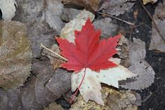 Autumn Walk October 16, 2010 078 (turahbird) Tags: autumn trees fall leaves outdoors woods michigan