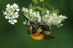 Fliege (ernst.ruhe) Tags: insekten fliege fliegen diptera insecta pterygota zweiflügler brachycera ernstruhe fluginsekten