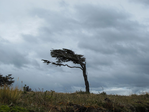 Windswept Tree - Tierra del Fuego, Argentina