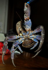 COCONUT CRAB (whologwhy) Tags: coconutcrab tatos