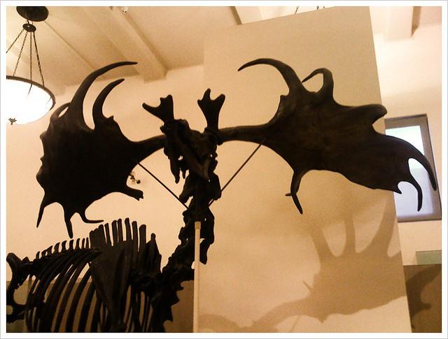 Extinct Irish Elk - Atlas Obscura Blog - American Museum of Natural History