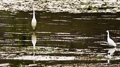 tanteandose con la mirada (un mar en calma) Tags: españa fauna 500 f8 cantabria reflejos k5 santoña objetivo sanyang marismasdesantoña pentaxk5