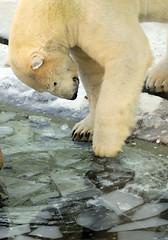 Polar bear (floridapfe) Tags: bear ice animal zoo arctic polarbear polar everland