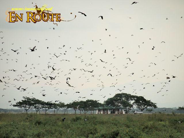 Hundreds or Thousands of birds in flight