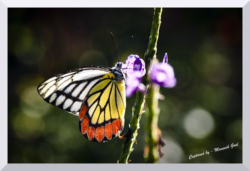 Common Jezebel Butterfly