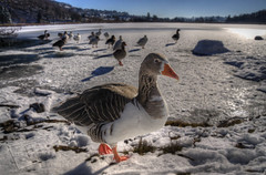 Geese in the snow / Anatre sulla neve (Fil.ippo) Tags: winter lake snow lago geese duck canadian g
