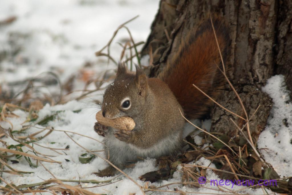 red squirrel   03.jpg