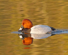 On Golden Pond (Andrew H Wildlife Images) Tags: bird nature duck wildlife pochard brandonmarsh canon7d ajh2008