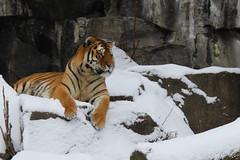 Tiger (TeryKats) Tags: wild cats snow berlin beauty animals canon germany fur eos zoo big tiger siberian tiergarten kats lefteris tery flickraward importedkeywordtags katsouromallis terykats leftkats