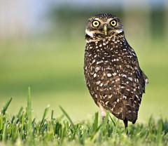 [フリー画像] 動物, 鳥類, フクロウ, アナホリフクロウ, 201105081700