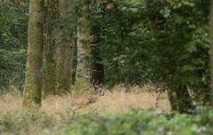 Instant de brame (Eric Penet) Tags: mormal animal sauvage avesnois france fort faune wildlife wild locquignol septembre nature nord mammifre mammal mle brame cervid cerf stag deer laphe elaphus cerfelaphe cerflaphe cervus