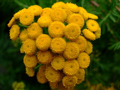 Tanacetum vulgare (yewchan) Tags: flower flowers garden gardening blooms blossoms nature beauty beautiful colours colors flora vibrant lovely closeup tanacetum tanacetumvulgare tansy goldenbuttons