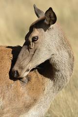 Hind (Ralph J Clark) Tags: reddeer hind portrait autumn rut bushypark sigma150500mmf563dgoshsm