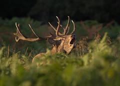 Red-Deer-4255 (Kulama) Tags: reddeer deer stag bracken fern camouflage nature wildlife woods rutting animals canon7d sigma150600c563