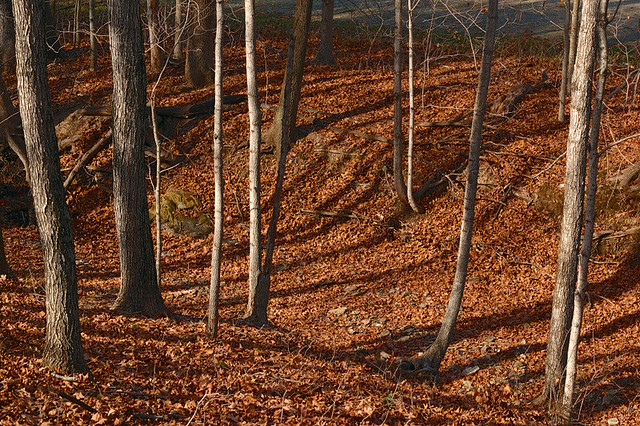 Broemmelsiek Park, in Saint Charles County, Missouri, USA - tree trunks with fallen leaves