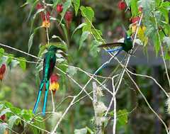Silfos Coliverdes, Long-tailed Sylph (Aglaiocercus kingi)