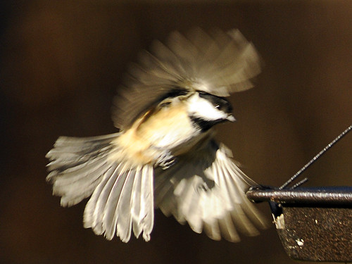 spinning chickadee