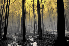 """Foggy Forest Dawn"" Lower Michigan Winter (FP explore # 9) (Michigan Nut) Tags: trees winter usa mist snow nature silhouette fog forest sunrise landscape photography spring scary wideangle mystical haunting bigfoot frontpageexplore spookyforest nikon1635mmf4gedvriiafsifswmnikkorwideanglezoomlens"