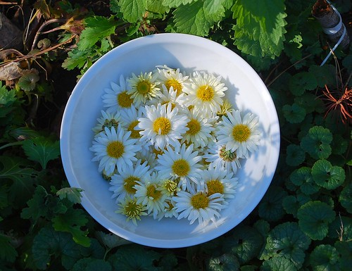 Chrysanthemum tea flowers