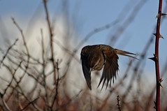 House Fintch in Flight (picaday) Tags: wild bird nature speed wings flight feathers picaday fintch housefintch picadayproductions