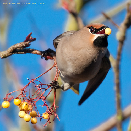 5214619645 65f2f06389 Waxwings in the UK