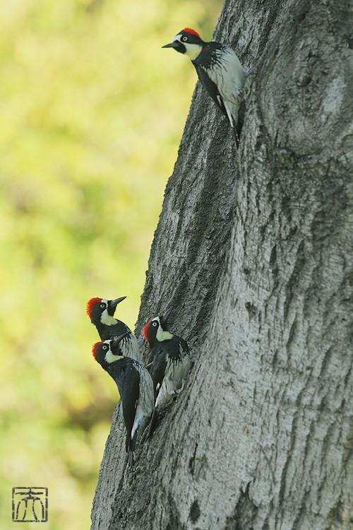 Acorn Woodpecker112810-7