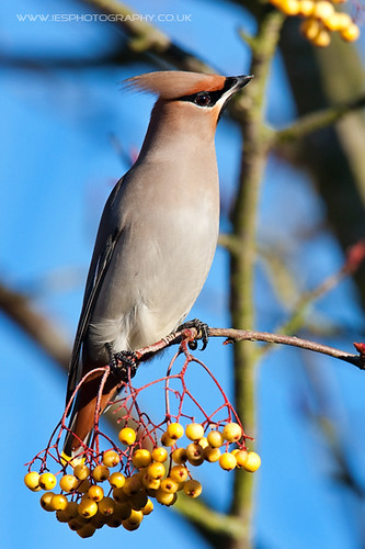 5215807016 25412103c7 Waxwings in the UK