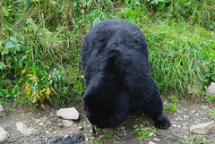 0775 rate Parc Omega ours noir (Nad.77) Tags: canada quebec parcomega montebello oursnoir
