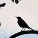 Avian Silhouette