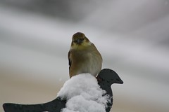Snow flake (Laura Rowan) Tags: winter snow bird canon rebel backyard goldfinch birding snowstorm ourgarden