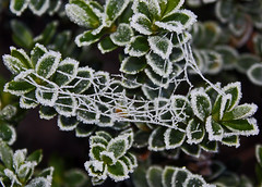 Icy (alphazeta) Tags: winter cold green leaves frozen hoarfrost web spidersweb hebe iceonleaves