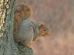 "Dec06_XMasRtrt_Squirrel2 • <a style=""font-size:0.8em;"" href=""http://www.flickr.com/photos/30765416@N06/5248068750/"" target=""_blank"">View on Flickr</a>"