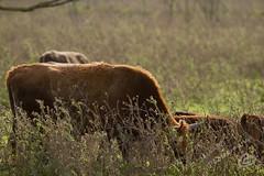 _MG_3757.jpg (WHaselbarg) Tags: nature animals wildlife nederland thenetherlands natuur dieren flevoland wildanimals oostvaardersplassen wildedieren heckrunderen wildcows wildekoeien workshopvanstevenruiter