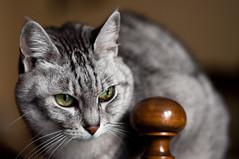 Trilly (Rob McFrey) Tags: sardegna italy cats nature animal cat 50mm nikon feline italia sardinia d felino mm 500 nikkor f18 18 50 gatto tigre cagliari fifty nifty soriano d90 europeo tigrato