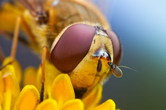Hoverfly series + some neat gear (johnhallmen) Tags: macro insect gear portfolio hoverfly öland syrphidae canon5dmkii canon270ex schneiderkreuznachcomponon35mmf4 schneiderkreuznachcomponon28mmf4 olympus65116telescopicet