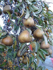 Pears from Tito Boys yard