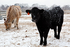 45M (ramislevy) Tags: winter snow cow cattle tag maryland bull kinderfarmpark